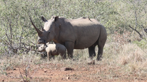 White Rhino: Mother and baby
